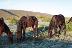Weidende Paarden Stock Afbeelding