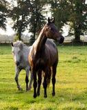 Weidende paarden Royalty-vrije Stock Foto
