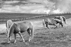 Weidende paarden Royalty-vrije Stock Foto's