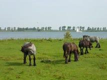 Weidende paarden in de zomer Stock Fotografie