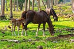 Weidende paarden - Espiritu Santo Stock Afbeelding