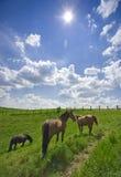 Weidende paarden, helder zonlicht, brede hoek stock afbeelding