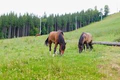 Weidende Paarden op de Helling Stock Afbeeldingen