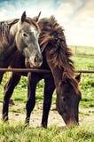 Weidende Paarden op de landbouwbedrijfboerderij Royalty-vrije Stock Afbeeldingen