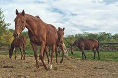Weidende Paarden op de landbouwbedrijfboerderij Royalty-vrije Stock Afbeelding