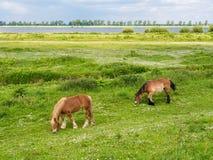 Weidende paarden op weide van Tiengemeten-eiland in Haringvliet S Stock Foto