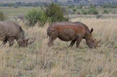 Weidende rinocerossen Royalty-vrije Stock Afbeeldingen