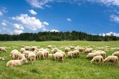 Weidende schapen royalty-vrije stock afbeeldingen