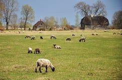 Weidende schapen Royalty-vrije Stock Foto