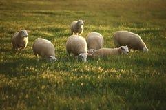 Weidende schapen. Royalty-vrije Stock Foto's