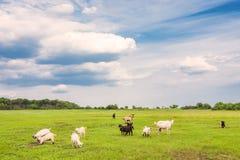 Weidende schapen en geiten Stock Foto