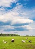 Weidende schapen en geiten Royalty-vrije Stock Afbeelding