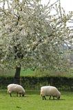 Weidende schapen in fruityard in volledige bloesem Royalty-vrije Stock Afbeelding
