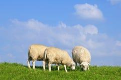 Weidende schapen op de dijk van rivieroude Maas stock foto