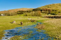 Weidende schapen op een bevroren, gedeeltelijk overstroomd gebied Royalty-vrije Stock Afbeeldingen