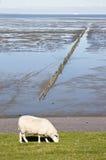Weidende schapen op Groninger-dijk, Nederland Stock Afbeelding