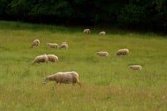 Weidende schapenkudde in de groene steppe Royalty-vrije Stock Foto
