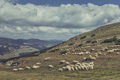 Weidende troep van schapen Royalty-vrije Stock Afbeeldingen