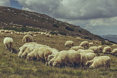 Weidende troep van schapen Stock Foto