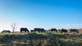 Weidende wild paarden in backlight Royalty-vrije Stock Foto