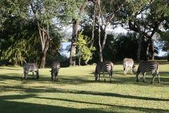 Weidende Zebra Stock Fotografie