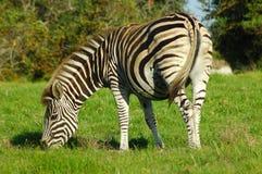 Weidende Zebra Stock Foto