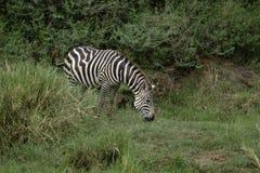 Weidende Zebra Royalty-vrije Stock Foto's