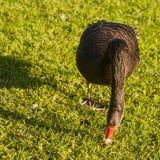 Weidende zwarte zwaan stock foto
