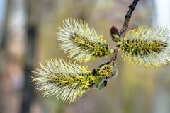 Weidenfrühlingsblumen Stockfotos