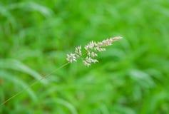 Weidengras-Unkrautmakro der wolligen grünen Wiese des Holcus wildes allgemeines stockfotografie