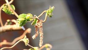 Weidenkätzchen der Haselnuss, allergienherbeiführender Blütenstaub stock video footage