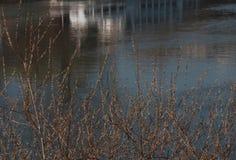 Weidenkätzchen nahe dem Fluss Neckar Stockfotografie