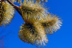Weidenknospen blühen in den Bäumen lizenzfreies stockbild