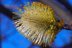 Weidenknospen blühen in den Bäumen stockbild