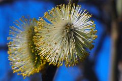 Weidenknospen blühen in den Bäumen stockfotos