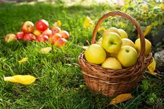 Weidenkorb mit gelben Äpfeln Stockfoto