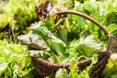 Weidenkorb mit Kopfsalat Stockfotografie