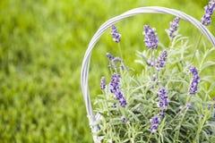 Weidenkorb mit Lavendel Stockbild