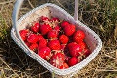 Weidenkorb mit roten reifen Erdbeeren auf einem Hintergrund des gelben Heus oder des gelben Grases Lizenzfreies Stockfoto