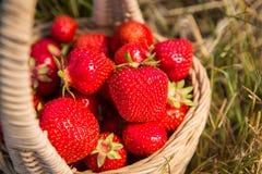 Weidenkorb mit roten reifen Erdbeeren auf einem Hintergrund des gelben Heus oder des gelben Grases Stockfotografie