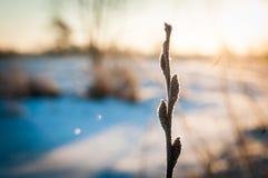 Weidenniederlassung in der Kälte Stockfotos