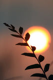 Weidenniederlassung gegen die Abendsonne Berühmter Kanonkop Weinberg nahe malerischen Bergen am Frühling Lizenzfreie Stockfotografie