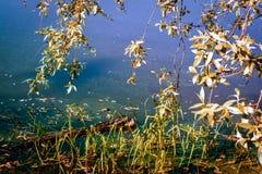 Weidenniederlassungen über dem Teichwasser Lizenzfreie Stockfotos