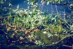 Weidenniederlassungen über dem Teichwasser Lizenzfreies Stockbild