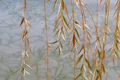 Weidenniederlassungen über einem gefrorenen See Stockfotos