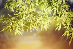 Weidenniederlassungen beleuchtet mit der Sonne Stockfotografie