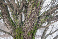 Weidenstamm bedeckt mit Moos Lizenzfreie Stockfotografie