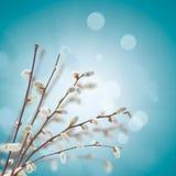 Weidenzweige mit Weidenkätzchen auf Blau Stockfoto