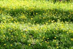 Weideopen plek van gele paardebloemen royalty-vrije stock foto