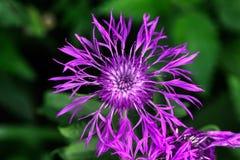 Weiderue De bloem van het gebied Stock Afbeeldingen